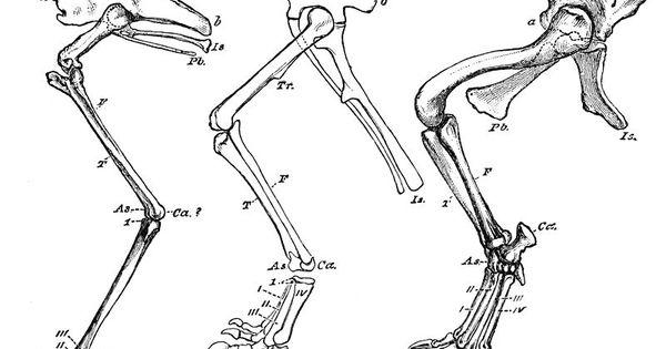 File:PSM V10 D233 Bird dinosaur crocodile leg bone