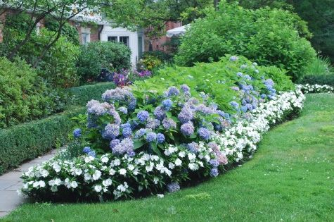 blue hydrangea hedge with white