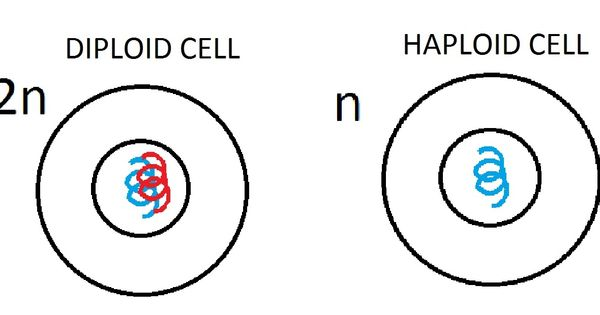 Diploid cell- cell with a diploid number of chromosomes(2n