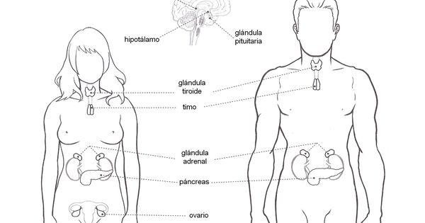 Esquema del sistema glandular con los nombres de sus