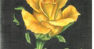 yellow rose drawing drawings pencil roses colored pencils
