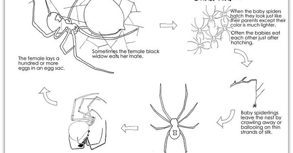 Learn about the life cycle of a spider and color the life