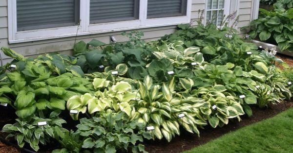 hosta combo garden . front