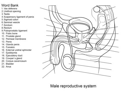 Male Reproductive System Worksheet coloring page from Anatomy category. Select from 20946