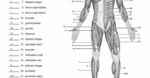 Blank Muscle Diagram to Label | SCHOOL STUDY | Pinterest