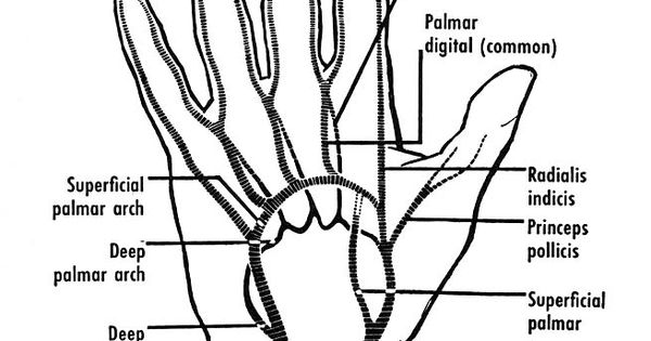 The arteries of the front of the hand. The superficial