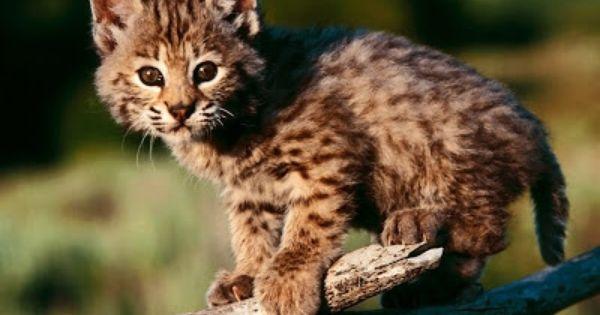 Free Fall Bc Nature Wallpaper Kodkod Vu Big Cats Felidae Pinterest Cat