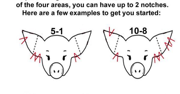 √ pig ear notching