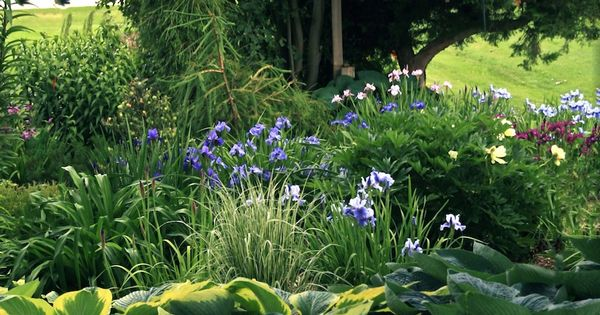 conifers hostas grasses and siberian