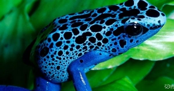 Exotic Animal Wallpaper Cute Blue Frog With Black Dots Sitting On Green Leaves