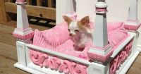 This would be for my papillion, named Kaylynn. (Original ...
