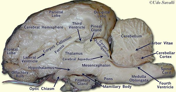 Labeled Spinal Cord Diagram Labeled Sheep Brain Sheep Brain Internal View Labeled