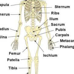 Bones Human Skeleton Diagram Oakwood Mobile Home Wiring Pictures: On This Page You Will Find Simple To Follow Explanations Of The ...