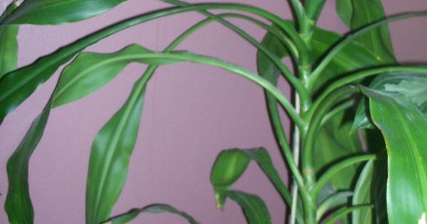 "Houseplant- Dracanea-""corn Plant""- Tall, Looks Like A Corn"