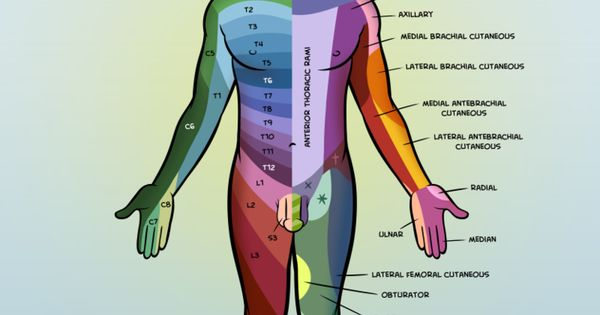 Dermatomes Poster nerves CPC Medical Coding Coding