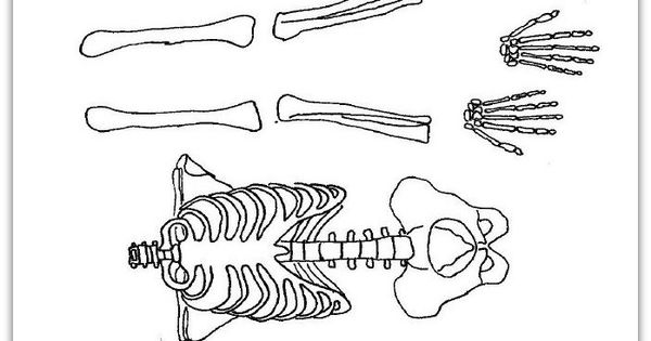 skeleton to cut out, free! great for studying the human