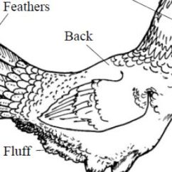 Clipping Duck Wings Diagram Tools To Create Uml Diagrams External Anatomy Of Poultry Kept On Small Or Backyard Flocks: Chicken - Extension | Cooped Up ...