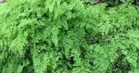 Maidenhair Fern Care  How To Grow A Maidenhair Fern ...