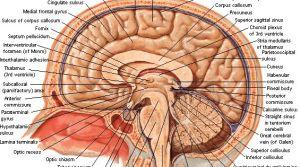 Neuroanatomy  Important brain structures   Study help   Pinterest   Brain structure, Brain and