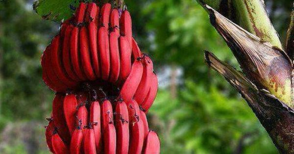 have you ever tried eating red bananas backyards india and travel