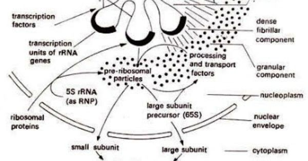 How ribosome sub units are synthesized inside nucleolus? A