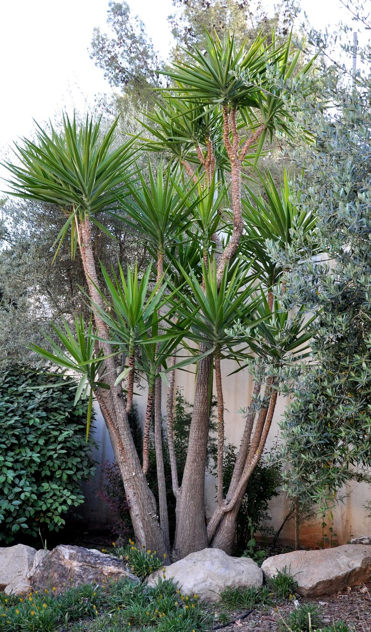 The 25 Best Ideas About Yucca Plant On Pinterest Yucca Tree