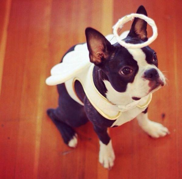 25 best ideas about Boston terrier costume on Pinterest