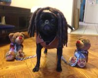 This year's halloween costume, Pixel as Michonne from The ...