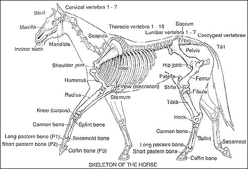 17 Best images about Anatomy charts of animals on