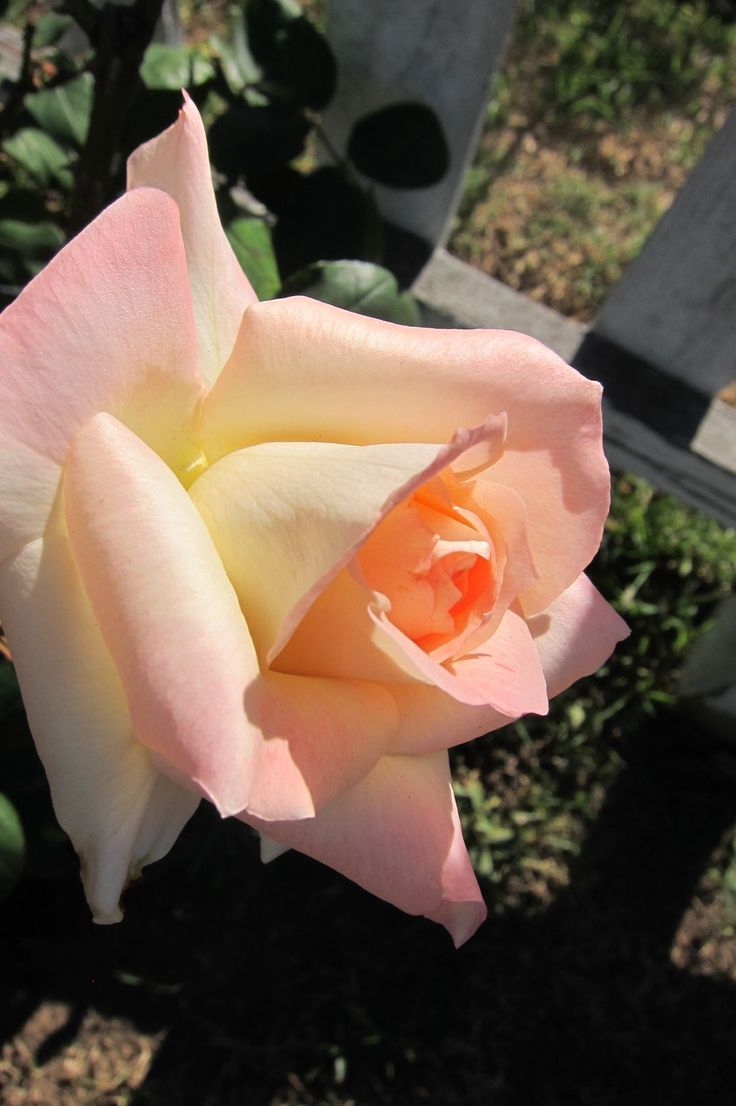 17 Best images about diana rose on Pinterest  Butter Princes diana and Hybrid tea roses