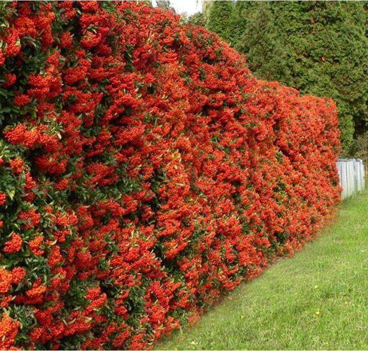 25 Best Ideas About Hedges On Pinterest Hedges Landscaping