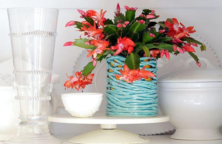 De kamerplant lidcactus bloeit in de winter Lees er meer