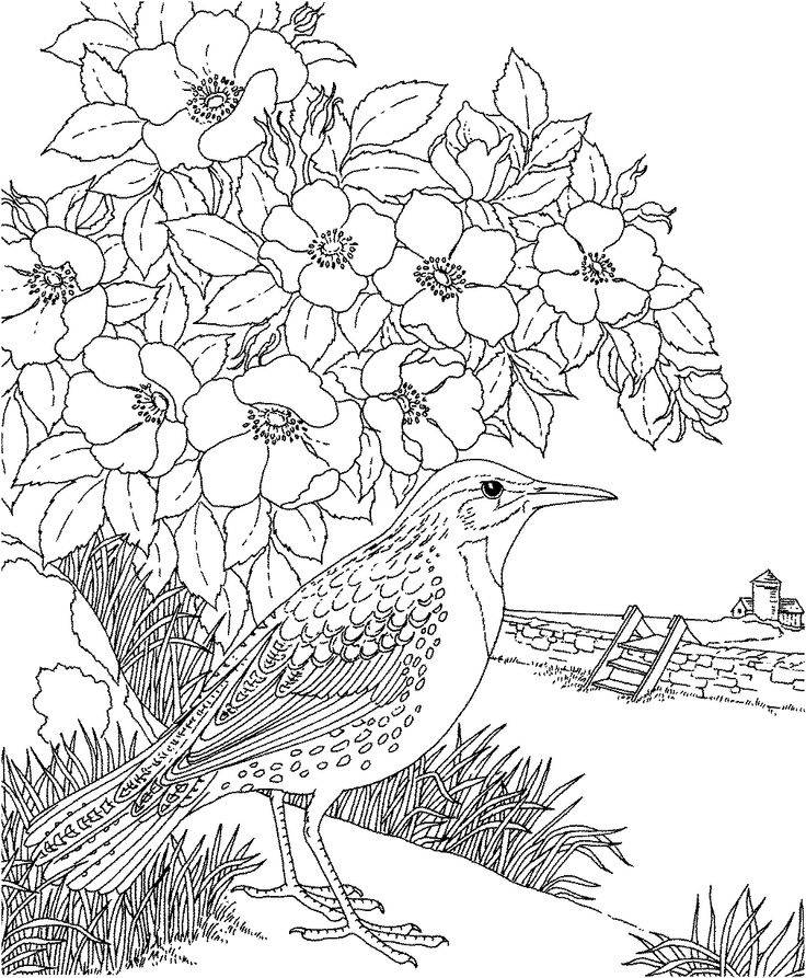 Free Printable Coloring Page...North Dakota State Bird and