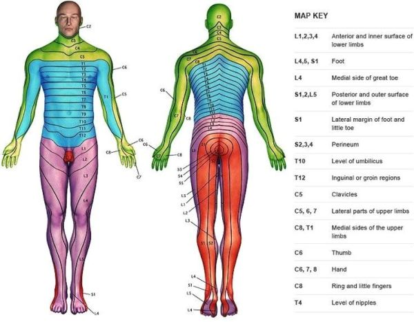 Dermatomes of the Body Yahoo Image Search Results