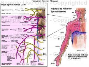 cervical spinal nerves chart & cervical spinal nerves