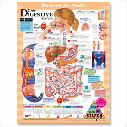 64 best images about A & P - Chapter 14: Digestive System ...