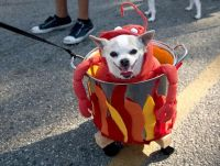 'Like my Crab outfit?' - Funny Chihuahua in Fancy Dress ...