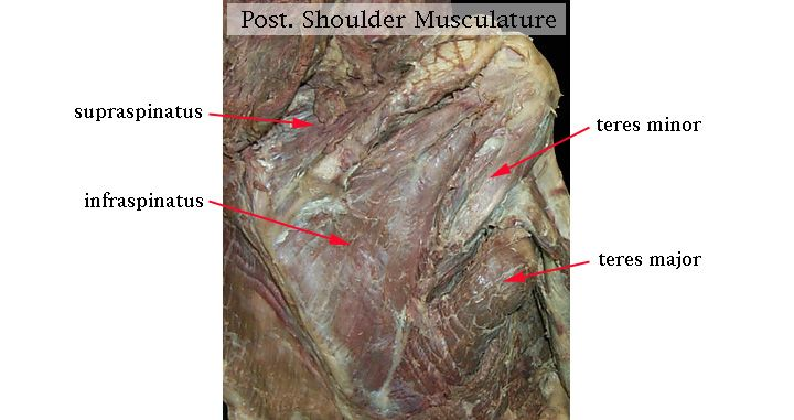 cat dissection muscle diagram back hopkins wiring 26 best images about muscles on pinterest | cats, and hair
