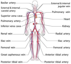 Anatomy and Function of the Common Iliac Artery With Labeled Diagrams | Circulatory system