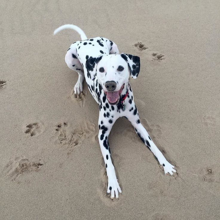 17 Best Images About ♥ Dalmatians ° ° On Pinterest Take
