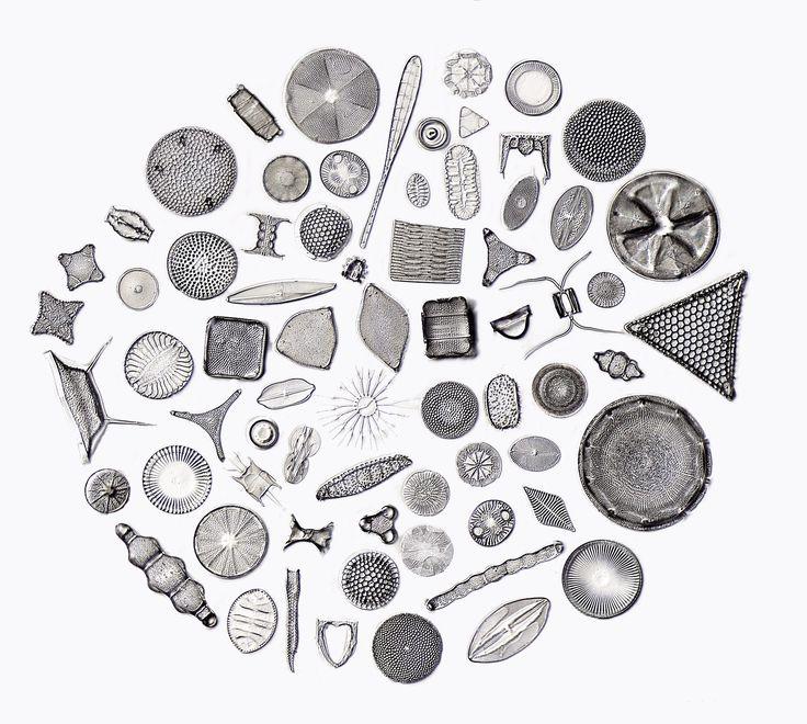 D-Kreis-60.j, Types of Diatom, Kreispraeparat, Picture of