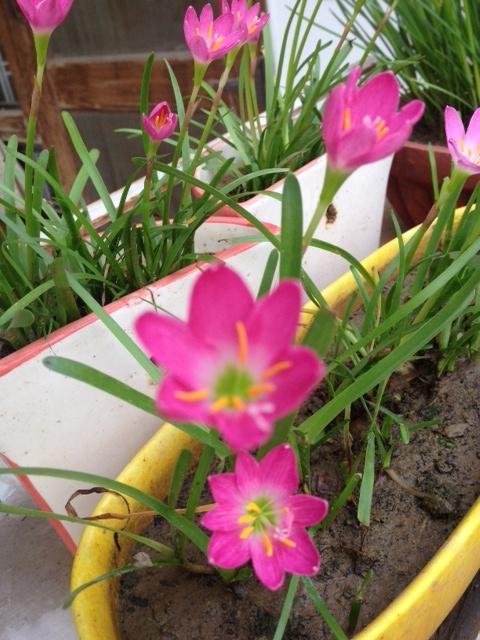 pink rain lilies garden
