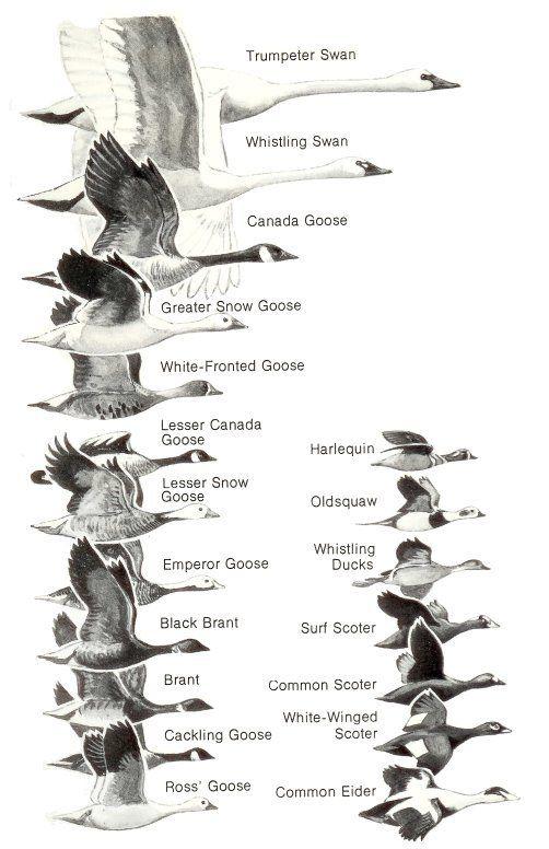 25+ best ideas about Duck Identification on Pinterest