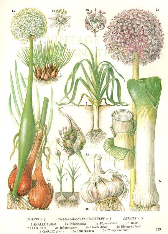 kitchen wall phones best way to clean wood cabinets in vintage botanical print antique leeks garlic, plant ...