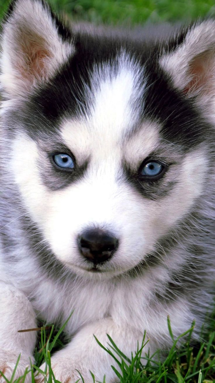 Cute Animal Soccer Wallpaper Pictures Cute Husky Puppies With Blue Eyes Iphone Wallpaper Hd