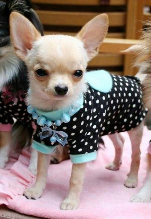 Best 25+ Chihuahua clothes ideas only on Pinterest
