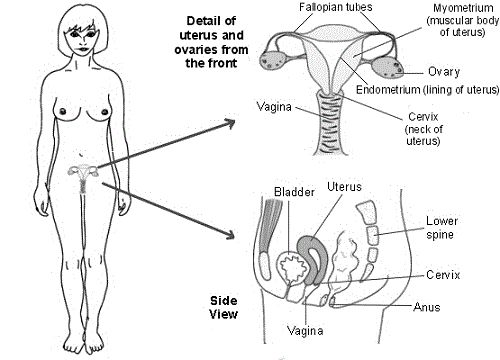 17 Best ideas about Female Reproductive System Anatomy on