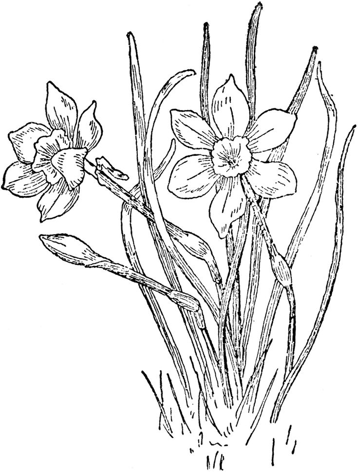 120 best images about Flowers drawing of daffodil on