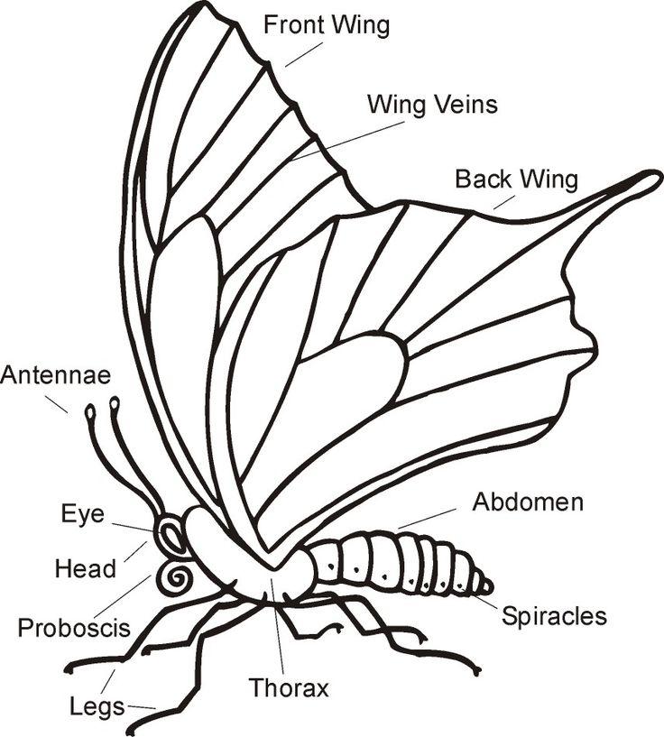 146 best images about First Grade Butterflies on Pinterest