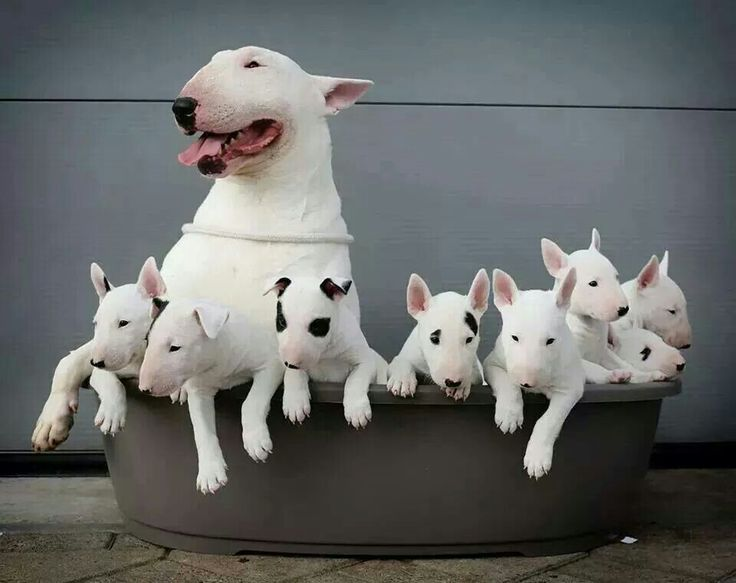English Bull Terriers and pups, awwww. This breed is NOT a pit bull. This is the companion dog General Patton chose in WWII.